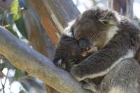 木の上で睡眠中のコアラの親子