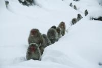 雪道の中を温泉に向かうニホンザルの群れ
