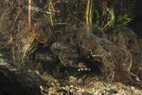 産卵穴近くで身を隠していたスニーカーと呼ばれるオオサンショウウオ