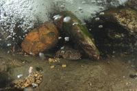 岩の下に潜むオオサンショウウオ