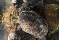 産卵行動中に呼吸のために巣穴から出てきたオスのオオサンショウウオ
