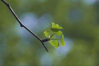イチョウの若葉