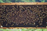 巣に群れるミツバチ(セイヨウミツバチ)