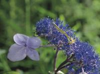 アジサイの花の上でオオヨコバイの仲間を捕食するオオカマキリの