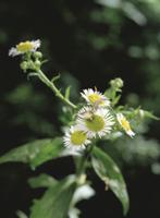 花の上でオオヨコバイの仲間を捕食するオオカマキリの1齢幼虫