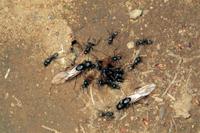 結婚飛行のために巣から出てきたクロオオアリのオスとメス