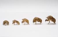 セミの抜け殻(羽化殻)(左からニイニイゼミ、ツクツクボウシ、 32177000395| 写真素材・ストックフォト・画像・イラスト素材|アマナイメージズ