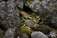 エゾナキウサギ 葉を集めた巣穴