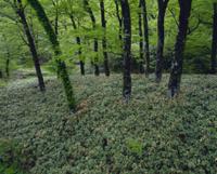 ミヤコザサが群生するブナの森