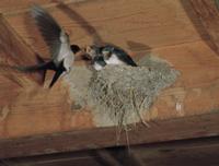 ツバメ 孵化約18日後のヒナに給餌