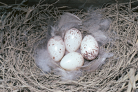 巣内のツバメの卵