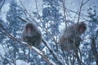 降雪の中、樹上で丸まるニホンザル