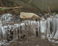 石を持ち上げた霜柱