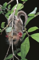 ウグイスカグラの実を食べるヤマネ 32182000244| 写真素材・ストックフォト・画像・イラスト素材|アマナイメージズ