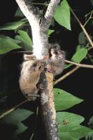樹上のヤマネの親子 32182000246| 写真素材・ストックフォト・画像・イラスト素材|アマナイメージズ