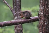 雨の中、尾を頭の上にかぶせて採餌するニホンリス:夏毛