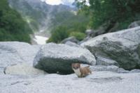 吊尾根を背景に岩の上に姿を現したホンドオコジョ:夏毛