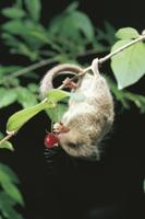 枝にぶら下がってウグイスカグラの実を食べるヤマネ