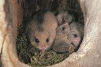 巣穴の中のヤマネの親子