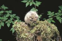 巣材のコケを集めて口にくわえるヤマネ 32182002858| 写真素材・ストックフォト・画像・イラスト素材|アマナイメージズ