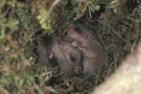 巣穴の中のヤマネの子:まだ目が開いていない