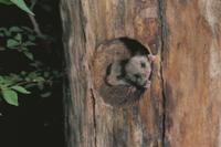 巣穴から顔を出すヤマネの兄弟