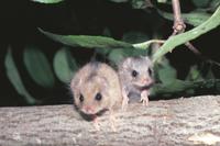 樹上のヤマネの親子(左が母親)