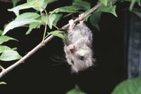 枝にぶら下がって尻尾の毛繕いをする若いヤマネ
