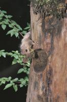 巣材のコケをくわえて巣に運ぶヤマネ 32182002864| 写真素材・ストックフォト・画像・イラスト素材|アマナイメージズ