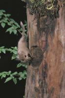 巣材のコケをくわえて巣に運ぶヤマネ 32182002865| 写真素材・ストックフォト・画像・イラスト素材|アマナイメージズ