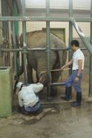アジアゾウ 足の治療