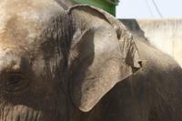 アジアゾウの耳
