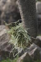 干草を食べるアジアゾウ