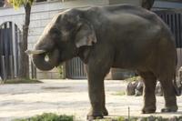 青草を食べるアジアゾウ
