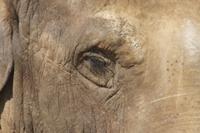 アジアゾウの目