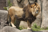 ライオン オス