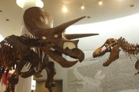 トリケラトプスの骨格 ダミー