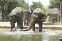 アジアゾウの水浴び