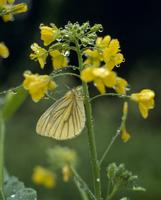 雨の日のスジグロシロチョウ