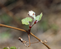 ヤマブドウの若葉