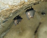 冬眠するコキクガシラコウモリ