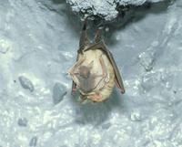 授乳するコキクガシラコウモリ
