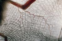 テングコウモリの飛膜
