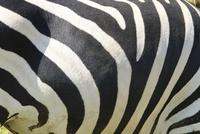 グラントシマウマの縞模様 32182014289| 写真素材・ストックフォト・画像・イラスト素材|アマナイメージズ