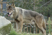 タイリクオオカミ 32182014450| 写真素材・ストックフォト・画像・イラスト素材|アマナイメージズ