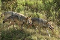 歩く3頭のタイリクオオカミ. 32182014451| 写真素材・ストックフォト・画像・イラスト素材|アマナイメージズ
