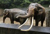 雨の日の動物園,インドゾウ 32182014550| 写真素材・ストックフォト・画像・イラスト素材|アマナイメージズ