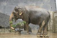 雨の日の動物園.餌を食べるインドゾウ 32182014555| 写真素材・ストックフォト・画像・イラスト素材|アマナイメージズ