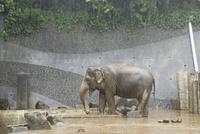 雨の日の動物園.餌を食べるインドゾウ 32182014808| 写真素材・ストックフォト・画像・イラスト素材|アマナイメージズ
