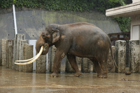 雨の日の動物園.インドゾウ 32182014810| 写真素材・ストックフォト・画像・イラスト素材|アマナイメージズ